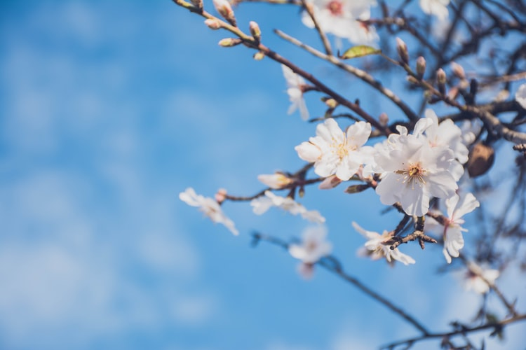 cherry blossom buds and flowers in spring